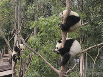 Three giant pandas cubs playing on the tree Stock Photos