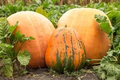 Three giant pumpkin at the field Stock Photos