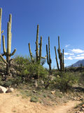 Three Giant Saguaros with mountains and sky Stock Photos
