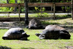 Three giant tortoises in zoo Stock Photography
