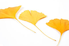 Three ginkgo dried leaves isolated on white Stock Photos
