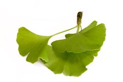 Three Ginkgo Leaves Stock Photography
