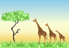 Three giraffe Stock Photo