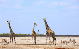 Three giraffe on the African plains surrounded by Springbok Stock Photography