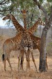 Three giraffe in attractive posotion,Kruger nation Royalty Free Stock Images
