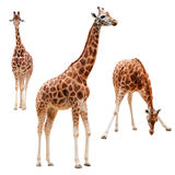 Three giraffe in different positions isolated with. Three giraffe in different positions isolated on white. clipping path included Royalty Free Stock Photo