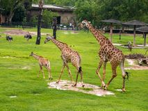 Three giraffe family in the zoo green grass background with friends in Thailand. stock photo