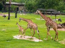 Three giraffe family in the zoo green grass background with friends in Thailand. royalty free stock images