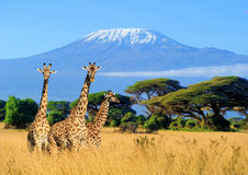 Three giraffe in National park of Kenya. Three giraffe on Kilimanjaro mount background in National park of Kenya, Africa
