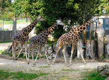 Three giraffe outdoors Royalty Free Stock Photo
