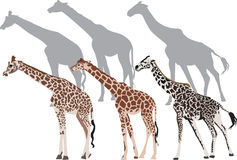 Three giraffe and shadows illustration Stock Images