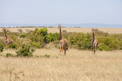 Three giraffe standing in grassland Stock Photos