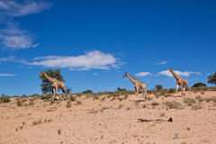 Three giraffe walking in the desert dry landscape Royalty Free Stock Photo