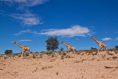 Three giraffe walking in the desert dry landscape Stock Photo