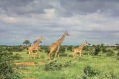 Three Giraffe walking through the grasslands masai mara royalty free stock photos