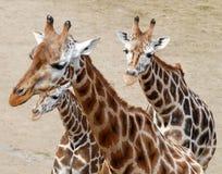 Three giraffes Stock Photo