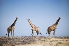 Three giraffes. In Etosha National Park, northern Namibia Royalty Free Stock Image