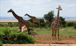 Three giraffes. Royalty Free Stock Photos