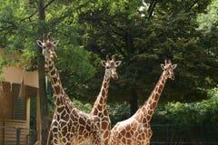 Three Giraffes. Curiously peeking at something royalty free stock photo