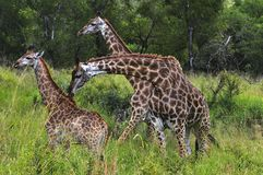Three Giraffes. Giraffes at Hluhluwe-Umfolozi Game Reserve, South Africa Royalty Free Stock Photo