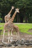 Three giraffes. On field with trees in background Royalty Free Stock Image