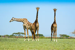 Three  Giraffes on the african savannah Royalty Free Stock Image