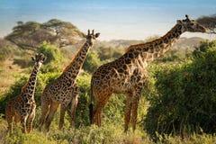 Three giraffes. In amboseli Kenya Royalty Free Stock Images