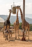Three Giraffes And Two Zebras. Royalty Free Stock Photos