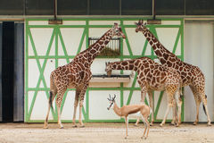 Three giraffes and antelope Royalty Free Stock Photos