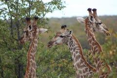 Three Giraffes browsing. Royalty Free Stock Photos