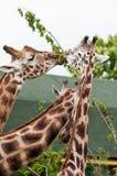 Three giraffes - detail Royalty Free Stock Photos