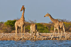 Three giraffes Royalty Free Stock Images
