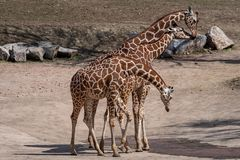 Three giraffes in the dry landscape. Giraffa camelopardalis reticulata Royalty Free Stock Photo