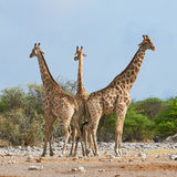 Three giraffes in the Etosha National Park. Three giraffes are close to each other and look around in the Etosha National Park in Namibia Stock Photo