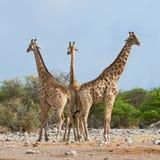 Three giraffes in the Etosha National Park Stock Photo