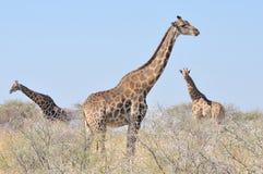 Three Giraffes Royalty Free Stock Photography