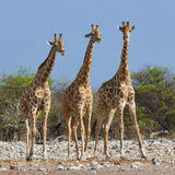 Three giraffes in the Etosha National Park. Three giraffes side by side in the Etosha National Park Stock Photos