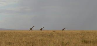 Three Giraffes in Evening Grass land Stock Photo