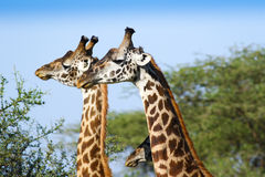 Three giraffes head Royalty Free Stock Image