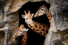 Three giraffes. Looking out of a cave Stock Photo