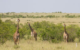Three Giraffes in the Masai Mara National Reserve Royalty Free Stock Photo