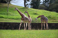 Three giraffes on nature background. In natural zoological park Royalty Free Stock Photos