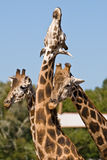 Three giraffes playing together. Three giraffes, one rubbing the neck of another Royalty Free Stock Images