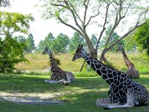 Three Giraffes Resting Stock Photo