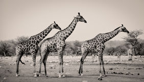 Three giraffes in a row Royalty Free Stock Images