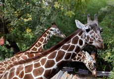 Three Giraffes in Row Stock Images