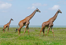 Three giraffes in savannah Royalty Free Stock Image