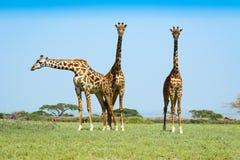Three giraffes Stock Image