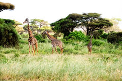 Three giraffes stand in African savannah on safari Royalty Free Stock Image