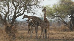 Three giraffes standing under acacias and eating their branches stock video